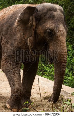 Grey Asian Elephant In A Zoo Close-up