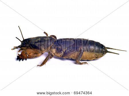 Gryllotalpa  Mole Cricket