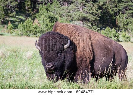 Adult Male Bison Or Bufalo