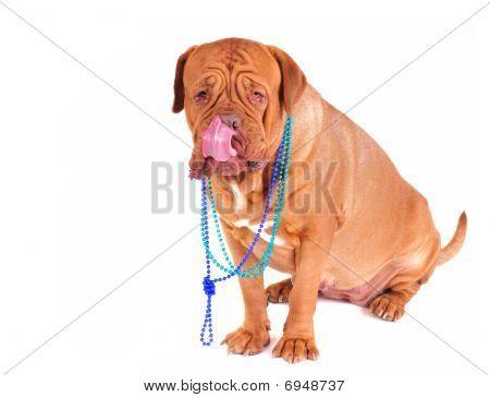 Dogue De Bordeaux Licking Its Face