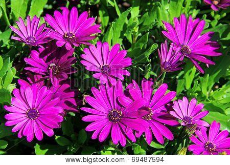 Violet Daisies