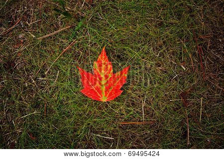 Bright Red Maple Leaf On Green Grass
