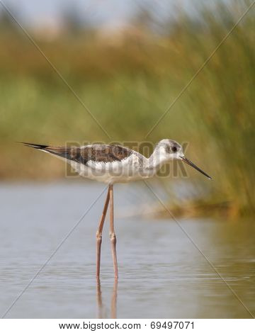 Black-winged Stilt wading bird