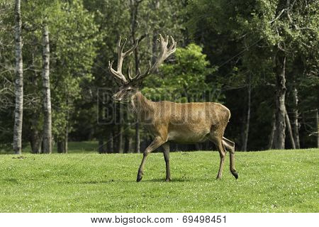 A large male wapiti