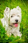 image of west highland white terrier  - west highland white terrier on a green grass outdoors - JPG
