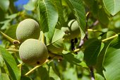 pic of walnut-tree  - Green walnuts growing on a tree Spain - JPG