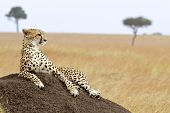picture of cheetah  - A cheetah  - JPG