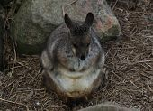 stock photo of wallabies  - An Australian rock wallaby huddled for warmth.