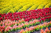 stock photo of celosia  - colorful rows of flower garden such as marigold  - JPG