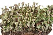 stock photo of lichenes  - Lichen - JPG
