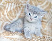 stock photo of blue tabby  - Gray fluffy kitten with blue eyes looking at the camera - JPG