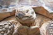 stock photo of spurs  - Closeup portrait of the African spurred tortoise - JPG