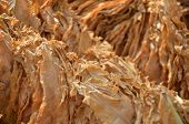 pic of tobaco leaf  - Picture of a Drying tobacco leaves on sun