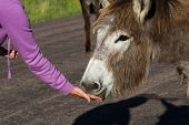 picture of burro  - hand feeding a gentile wild burro in South Dakota - JPG