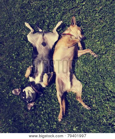 two chihuahuas rolling in the grass done with a vintage retro instagram filter