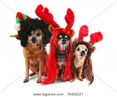 three chihuahuas dressed up for christmas