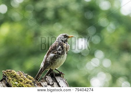 Fieldfare on a stone