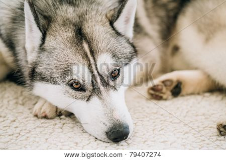 Gray Adult Siberian Husky Dog