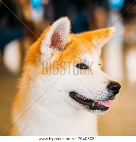 Akita Dog Akita Inu, Japanese Akita close up portrait