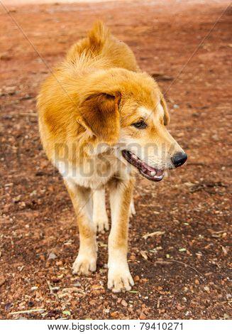 Stray Dog Stand On Ground