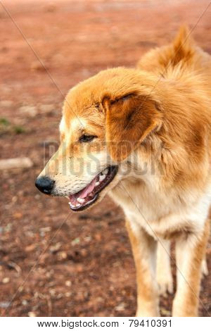 Face Of Stray Dog Stand On Ground