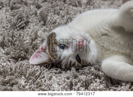 White Gray Cat With Big Eyes Resting On The Carpet