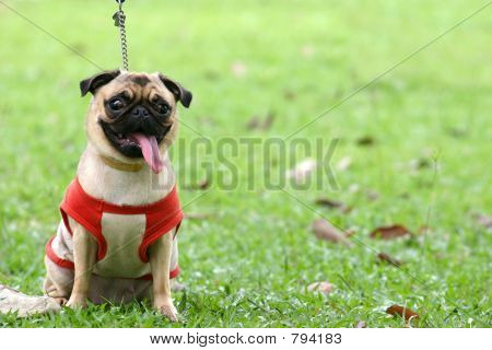 Pug on leash
