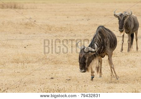Wildebeests standing