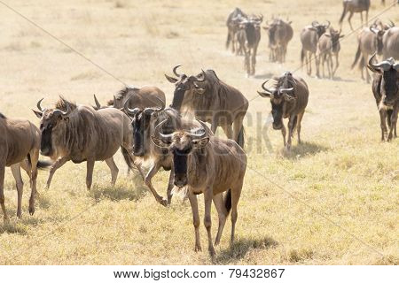 Wildebeests walking