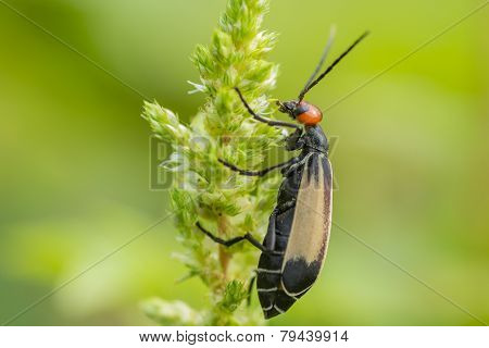 Striped Blister Beetles