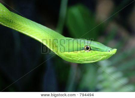 Green Vine Snake