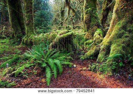 Rain Forest, Olympic national park