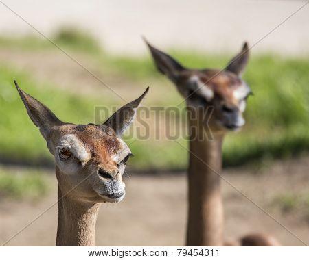 Gazelle Pair