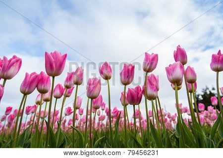 Beautiful pink tulips in the field