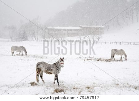 Horses feeding in winter time