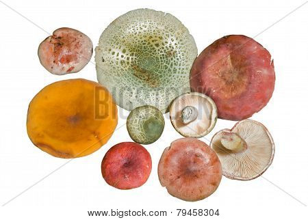 Mushrooms (agaric)