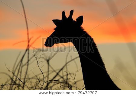 Giraffe Silhouette - African Wildlife Background - Colorful Contours