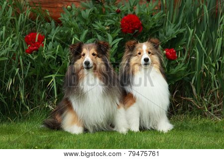 Two Shelties