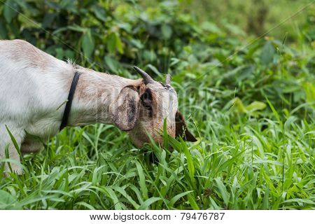 A White Goat Against Grass