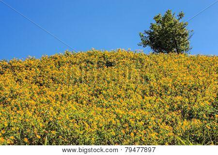 Tree Marigold Field