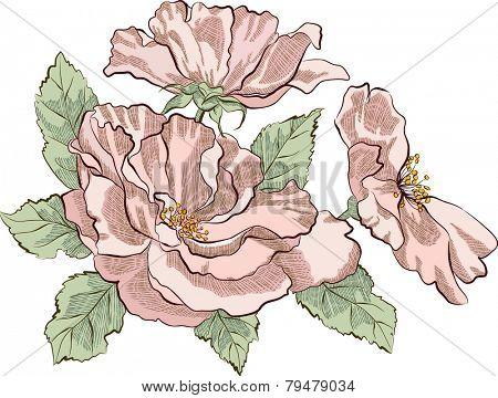 Dog rose isolated on white background