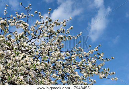Apple Tree Branch Blossoms