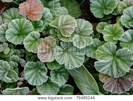 Frost Covered Leaves Texture