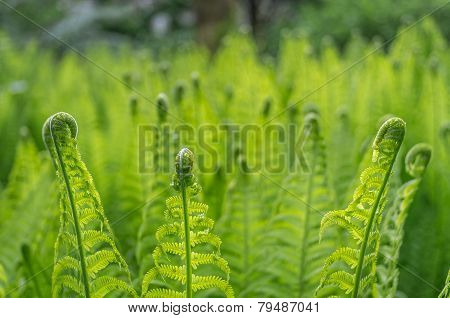 New ferns