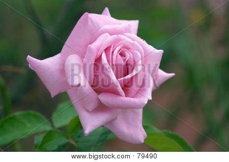 Rosa perfecta
