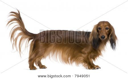 Dachshund, 2 Years Old, In Front Of White Background