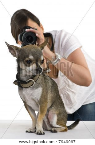 Chihuahua, 3 Years Old With A Photographer Behind, In Front Of White Background