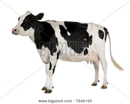 Holstein Kuh, 5 Jahre alt, standing against white background