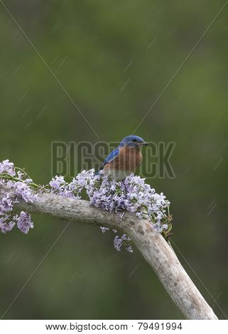 Male Eastern Bluebird in Lilacs