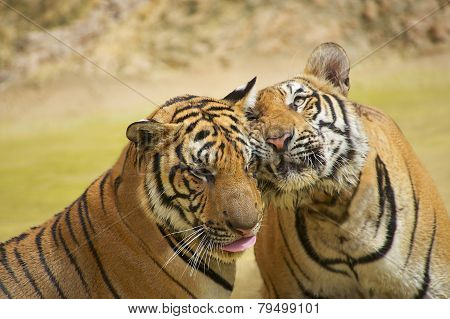 Adult Indochinese tigers rub cheeks.